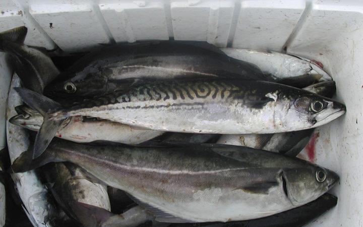 Makrel fra Nordsøen